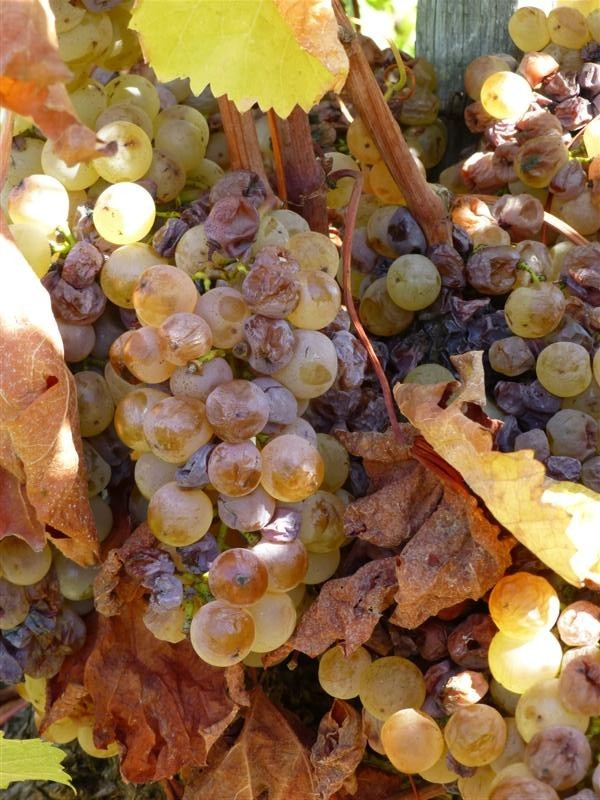 Gainey Grapes