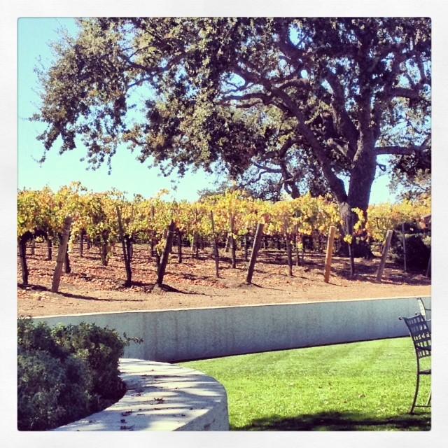 baby grape vines.