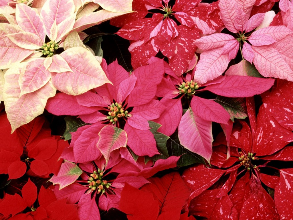 blooming_poinsettias-normal